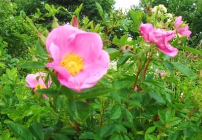 Beech Roses