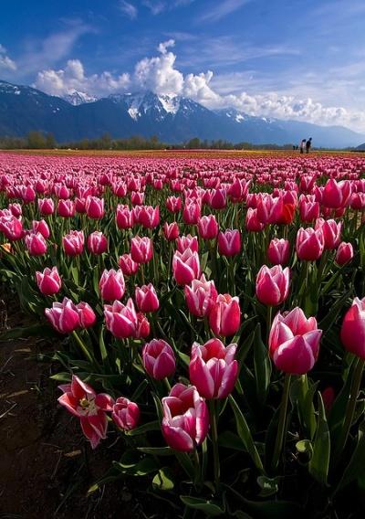 Tulips-in-Agassiz-BC