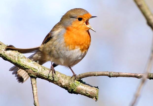 European-Robin